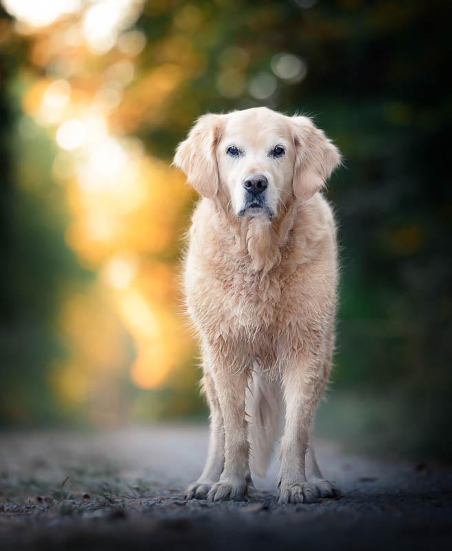 Hunde Fotoshooting Golde Retriever