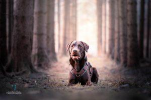 Hunde Fotoshooting Labrador Schokobraun
