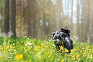 Hunde Fotoshooting Malteser Mischling Blumenfeld