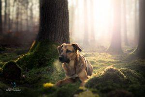 Hunde Fotoshooting Schäferhund Wald