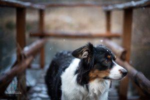 Hunde Fotoshoshoting Australian Shepherd Brücke