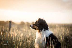 Hunde Fotoshoshoting Australian Shepherd Gräser Abendlicht