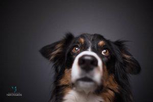 Hunde Fotoshoshoting Australian Shepherd Portrait