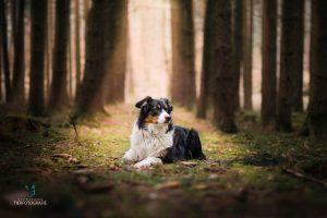 Hunde Fotoshoshoting Australian Shepherd Wald