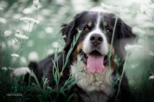 Hunde Fotoshoshoting Berner Sennehund Blumenfeld