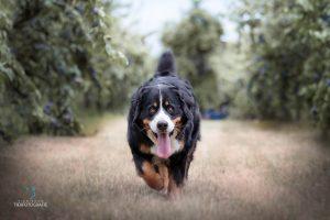 Hunde Fotoshoshoting Berner Sennehund Feld