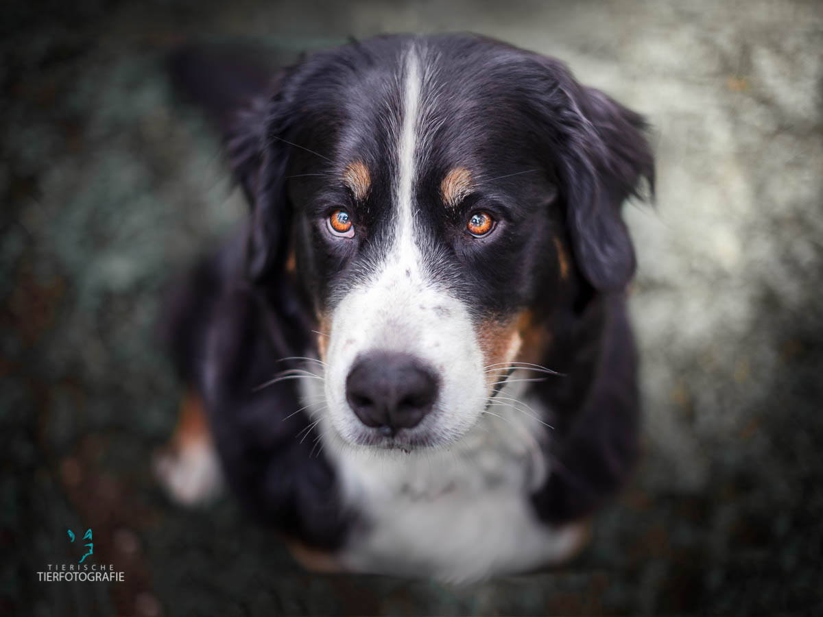 Hunde Fotoshoshoting Berner Sennehund Portrait