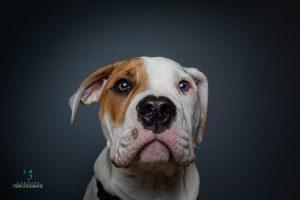 Fotoshooting Bulldogge Portrait
