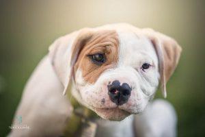 Hunde Fotoshoshoting Bulldogge Welpenportrait