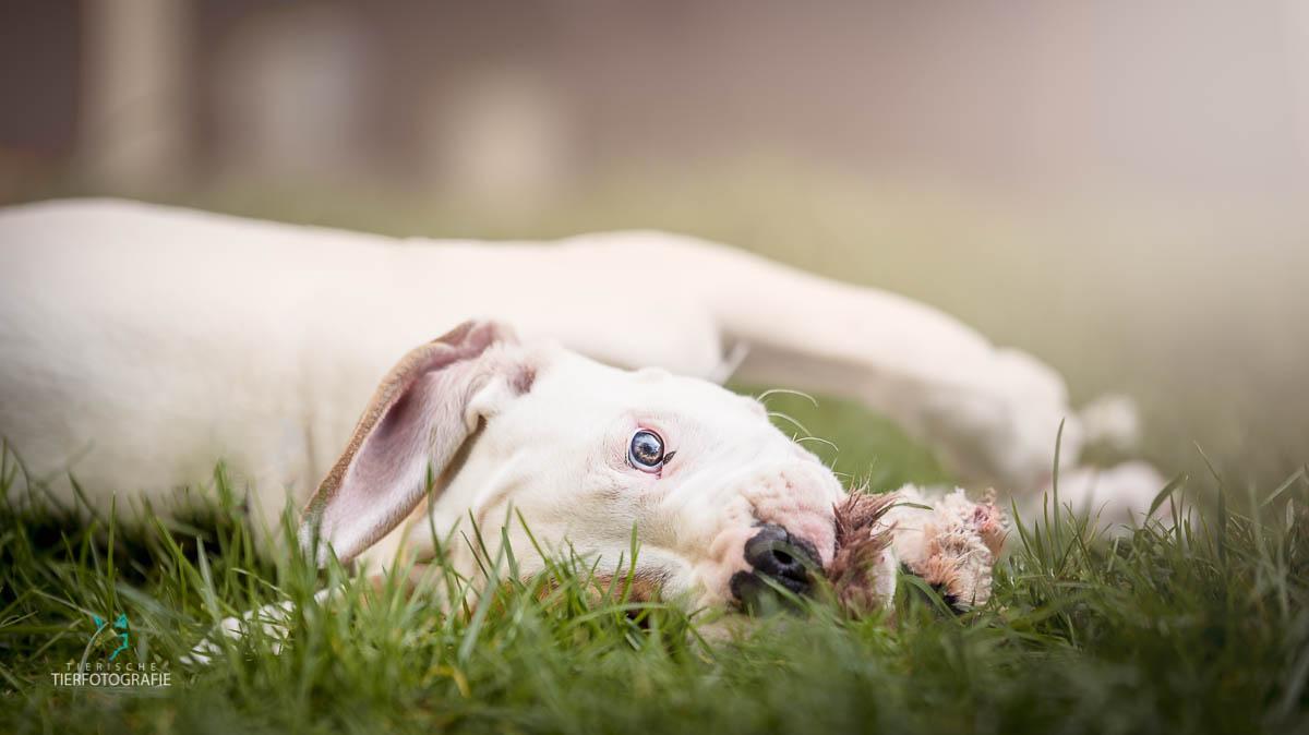 Hunde Fotoshoshoting Bulldogge Welpe auf Wiese
