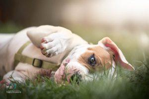 Hunde Fotoshoshoting Bulldogge Welpe2