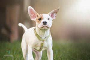 Hunde Fotoshoshoting Bulldogge Welpe