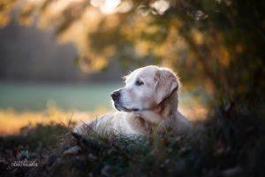 Hunde Fotoshoshoting Labrador Herbstblätter