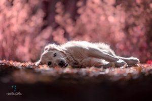 Hunde Fotoshoshoting Labrador Lila Liegend