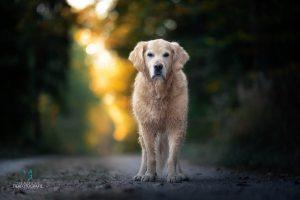 Hunde Fotoshoshoting Labrador Wald