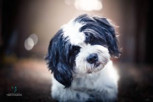 Hunde Fotoshoshoting Malteser Shitzun Portrait