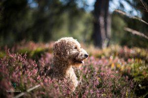 Hunde Fotoshoshoting Pudel Heidekraut lila