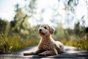 Hunde Fotoshoshoting Pudel Steg