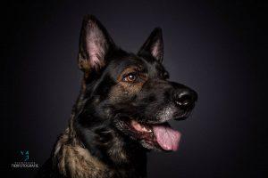 Hunde Fotoshoshoting Schäferhund Portrait