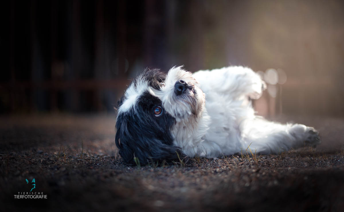 Hunde Fotoshoshoting Schitzu Malteser liegend