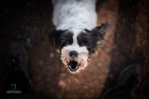Hunde Fotoshoshoting Shitzun Malteser Bellen