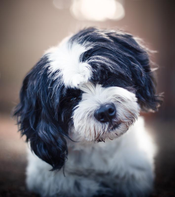 Hundefoto Malteser Mischling