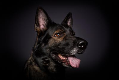 Poträtfotografie Schäferhund