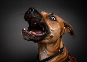 hunde fotoshooning-amer ican-staffordshire- t errier