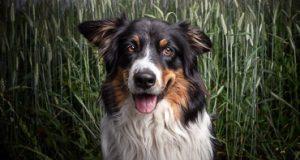 hunde fotoshooting mit australian shepherd