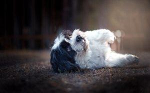 hunde fotoshooting mit malteser shitzu mischling