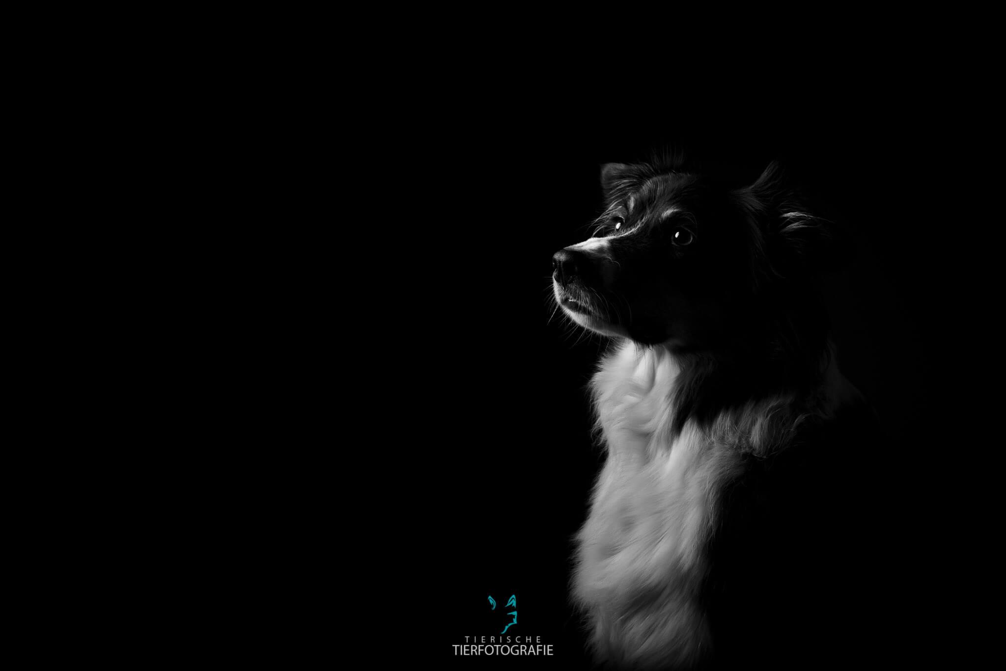 Hundefotografie im Studio - Australian Shepherd