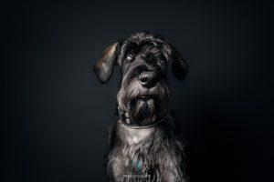 Hundefotografie im Studio - Schnauzer