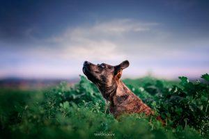 Outdoor Hundefotorgafie - Bardino-Misching in der Wiese