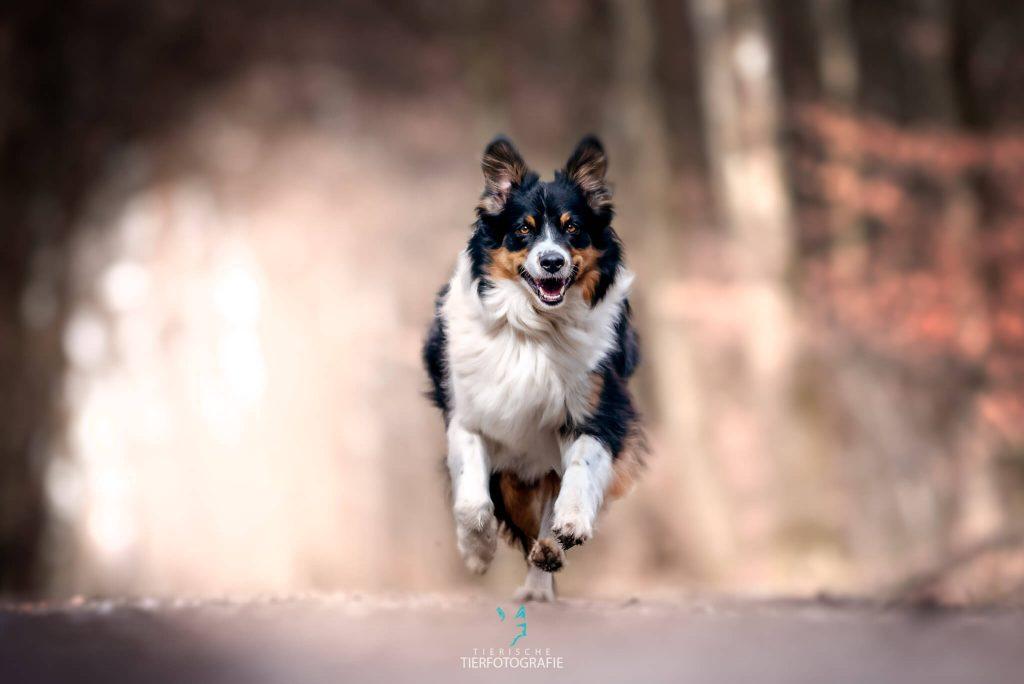 Outdoor Shooting rennend im Wald - Actionfotografie mit Hund