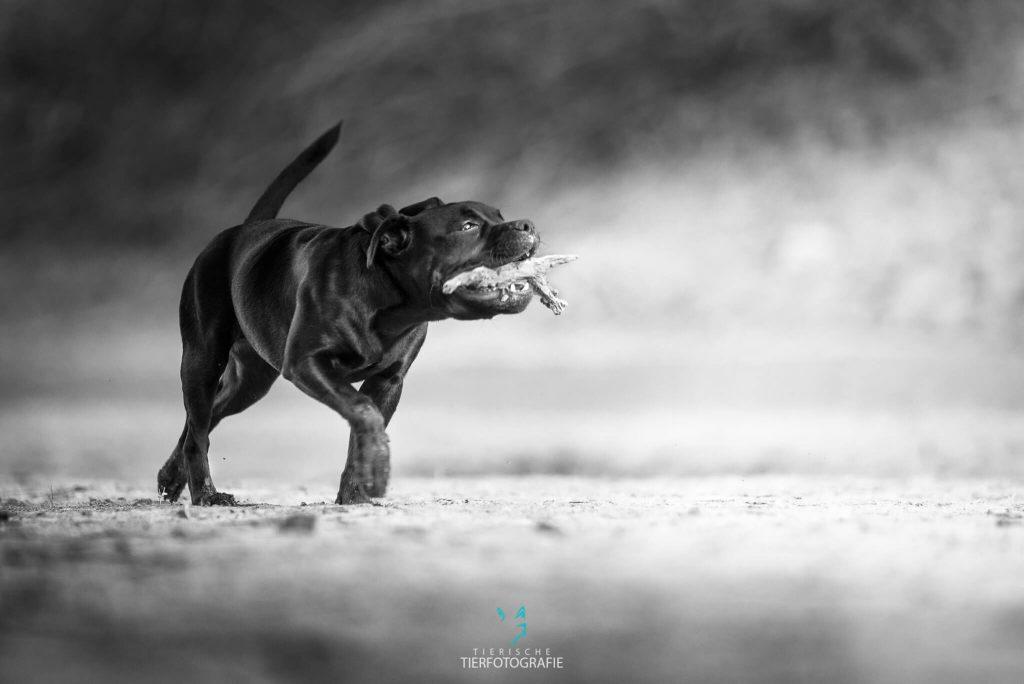 Outdoor Hundefotografie stock Staffordshire Terrier